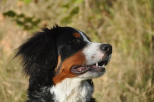 bernese-mountain-dogs-496548_1280